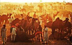pushkar cattle fair 2017 tatlatr