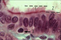 épithélium cylindrique simple utérus