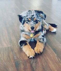 Aussie Shepherd, Australian Shepherd Mom, Aussies, Aussie Dad, Australian She. Super Cute Puppies, Cute Dogs And Puppies, Baby Dogs, Pet Dogs, Adorable Dogs, Puppies Tips, Cutest Dogs, Doggies, Baby Puppies