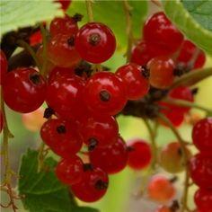 Johannisbeere Red Lake (Pflanze)  Ribes rubrum Große rote saftige Beeren. Red Lake wurde in den USA um 1933 gezüchtet und bald darauf auch in Europa geschätzt, wegen des süßsauren Vergnügens, die einzelnen Beeren zu vernaschen! Die Beeren schmecken köstlich aromatisch und sind nur mildsäuerlich, weshalb sie auch als sehr gute Sorte für den Frischverzehr empfohlen wird.