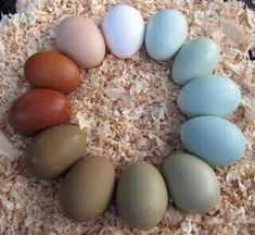 This is the picture that made me start yearning for W/BW Ameraucanas and Wheaten Marans. What gorgeous colors!