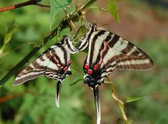 The Zebra Swallowtail (Eurytides marcellus) is a butterfly with distinctive black and white markings and elongated tails on its hindwings. Description from butterfly-photos.blogspot.com.es. I searched for this on bing.com/images