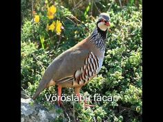 12 days of Christmas: On the First Day of Christmas My True Love Gave to me - A partridge in a Pear Tree!Red-legged partridge (photo from Wikipedia) Common Pheasant, Portugal, Three Little Birds, Pear Trees, Grouse, Game Birds, Bird Tree, Bird Pictures, Animals