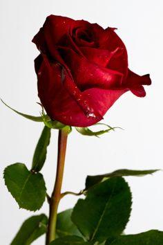 Rosa / Rose / Rosas / Roses colhidas para morrer...