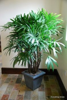Rhapis Excelsa Palm for interior landscaping