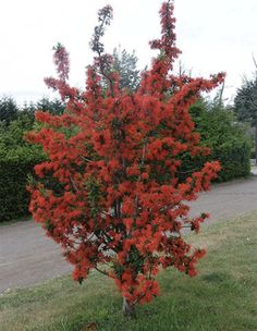 Chilean fire tree, or Embothrium coccineum. It is possibly the most startling and flamboyant tree that can be grown. In late spring and early summer this tall and slender evergreen is smothered in scarlet tubular flowers grouped in racemes and borne so heavily that the attractive dark green foliage is obscured. This tree will bring the gaudy, primary colors of the tropics to temperate zone gardening.  Typically Chilean fire tree is a broadleaf evergreen, though at the colder end of its range…