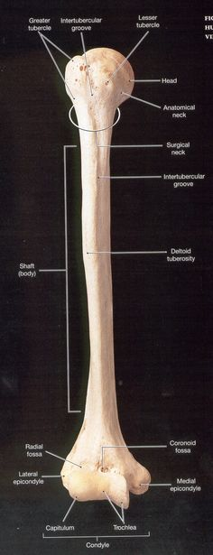 humerus labeled - Google Search Hip Anatomy, Anatomy Bones, Gross Anatomy, Body Anatomy, Anatomy Study, Human Skeleton Anatomy, Human Anatomy, Physical Therapy School, Forensic Anthropology