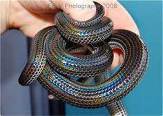 rainbow corn snake - Bing Images
