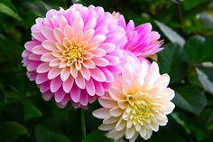 Beautiful dahlias!