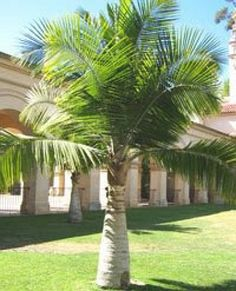 Majesty Palm (Ravenea Rivularis) - Zone 9-11 (Cold hardy to 25F) Part Shade. 10'-20' Height 5'-10' Width. Actually grows & looks best situated under a canopy of tall trees. Tolerant of many different soil types, but needs sufficient fertilizer to look its best - feed every 3 months or whenever its deep green color begins to fade. Commonly available & easy to grow. Prefers moist (not wet) soil. Yellowing fronds-sign of over-watering, while browning fronds a sign of not enough water.