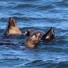 From the seal cruise in Apollo Bay. Could spend all day photographing them :) by jadecraven http://ift.tt/1LQi8GE