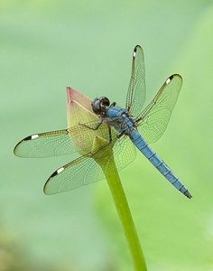 Gossamer winged dragonfly on a bud Dragonfly Art, Dragonfly Tattoo, Dragonfly Images, Flying Insects, Bugs And Insects, Beautiful Bugs, Beautiful Butterflies, Beautiful Creatures, Animals Beautiful