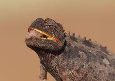 Namaqua chameleon #Namibia Chameleon, Safari, Album, Explore, Chameleons, Card Book