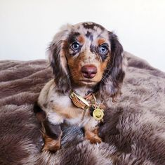 Tips And Tricks For Training Your Dog. Photo by Does your dogs behavior frustrate you? Dapple Dachshund Puppy, Long Haired Dachshund, Dachshund Love, Dapple Dachshund Miniature, Dachshund Clothes, Miniature Dachshunds, Dachshund Gifts, Cute Dogs And Puppies, Big Dogs
