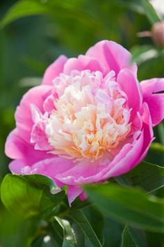 }{   Peony 'Bowl of Beauty'