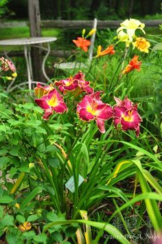 care and feeding of daylilies