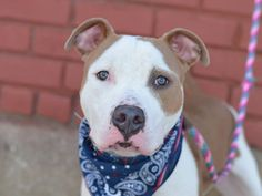 TO BE DESTROYED - 09/22/14 Brooklyn Center -P  My name is ADONIS. My Animal ID # is A1013853. I am a male brown and white pit bull mix. The shelter thinks I am about 10 MONTHS old.  I came in the shelter as a OWNER SUR on 09/12/2014 from NY 11213, owner surrender reason stated was NO TIME.