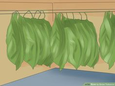How to grow, cure and age tobacco plant!