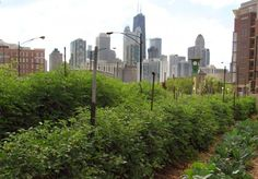 Securing water for urban farms.  A farm grows kale in view of the Chicago skyline.  Globally, farms in and around cities span an area the size of the European Union.  Photo credit: Linda N/CC