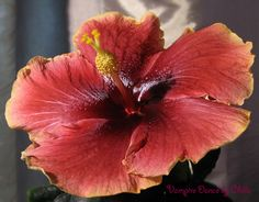 "Tropical hibiscus ...""Vampire Dance""..."