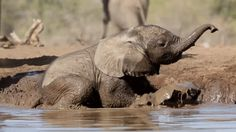 """HAHAHAH i love elephants so much """"Relax guys, I've got this.""""   24 Baby Elephants Totally Nailing This Largest Terrestrial Animal Thing Baby Elephant Video, Photo Elephant, Elephant Gif, Elephant Shrew, Elephant Park, Funny Elephant, Elephant Images, Elephant Quilt, Elephant Love"""