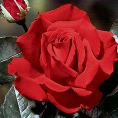 情熱的な赤い薔薇「クリスチャンディオール」。 ハイブリッド・ティー・ローズの代表ともいえるこの品種。大輪の赤い薔薇は優雅な美しさが際立ちます。