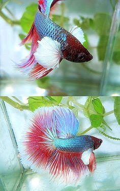 red/blue OHM Big Pectorals Beta Fish, Siamese Fighting Fish, Beauty First, Betta, Animal Kingdom, Koi, Mermaids, Red And Blue, Future