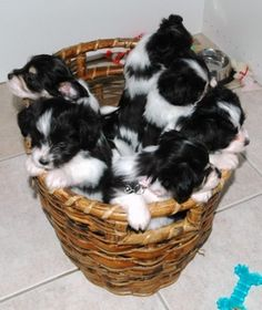 A basket full of Papillon puppies, so cute!  Makes me miss Candy being a baby.