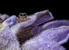 Jumping spider (Salticidae) hiding inside the flower of a lavender waiting for its next meal. Jumping Spider, Macro Photography, Ninja, Wedding Rings, Engagement Rings, Random, Jewelry, Photos, Rings For Engagement