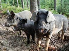 Bio Freilandschweine Rind, Animals, Meat, Essen, Animales, Animaux, Animal, Animais