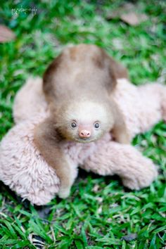 Things that make you go AWW! Like puppies, bunnies, babies, and so on. A place for really cute pictures and videos! Pictures Of Sloths, Cute Sloth Pictures, Dog Pictures, Pretty Animals, Cute Baby Animals, Two Toed Sloth, Cute Baby Sloths, Cute Lizard, Baby Donkey