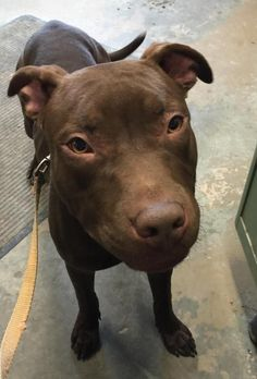 ADOPTED!!! <3 <3  #2 AVAIL!! ♥ 2-ish. Pit Bull Terrier • Adult • Male • Med. **Avail a limited time from the Carroll County Dog Pound, 2185 Kensington Rd. NE, Route 9, Carrollton, Ohio 44615!** 330-627-4244. Located SE of the Akron/ Canton area. Open Monday-Friday, 7-4, except holidays. $20 adoption fee includes dog license which will be mailed & a 5-way shot. Dogs at the pound are strays & surrenders & not health or temperament checked.
