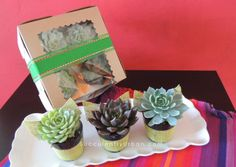 """This season we are offering the alternative to sugary gifting.  Say goodbye to chocolates, cookies and cupcakes to give out as gifts to your loved ones.  Offer them """"succulent cupcakes"""" from Succulently Urban"""