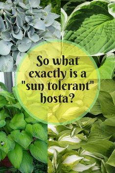container gardens-Hostas are not only for shade. There are sun tolerant varieties on the market. Learn about the sun tolerance of these hostas and how you can site them in your hosta garden to keep their beautiful colors.