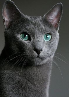 Amazing history of cat breed - Russian Blue. Diseases of Russian Blue. Beautiful Cats, Animals Beautiful, Cute Animals, Simply Beautiful, Animals Images, Regard Animal, Hypoallergenic Cats, Especie Animal, Photo Chat