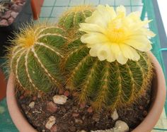 Notocactus magnificus/Parodia magnifica