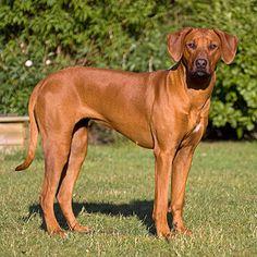 Риджбек, родезийский риджбек – африканская охотничья порода собак, описание породы. Порода собак для охоты на львов. Фото родезийского риджбека.