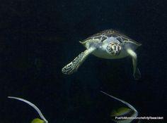 Sea Turtles Riviera Maya Mexico Yucutan