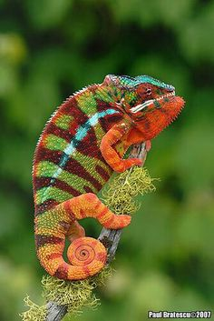 Chameleon. Paul Bratescu 2007