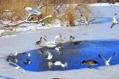 Birds playing in the Ice. GLoucacelunaphotography