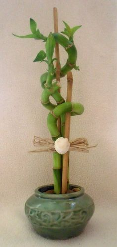 Lucky Bamboo Arrangement in Green Ceramic with by HoneyBeadsJewels, $12.99
