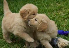 golden pups playing