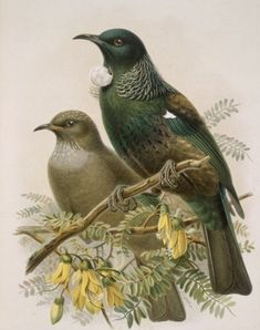 """Print from Buller's Birds """"Tui"""" at Prints.co.nz"""