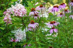 hydrangea pinky winky  echinacea magnus
