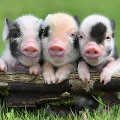 The story of 3 pigs.