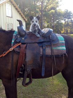 Australian cattle dog. On a horse!