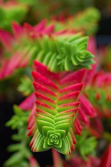 Crassula capitella It grows to a height of about 6 inches tall and will be damaged when exposed to temperatures below 30 °F (−1 °C).[2] It has narrow, pointed stacked leaves. It is mostly biennial, blooming in the summer with white flowers, with one rosette.