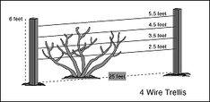 blackberry trellis