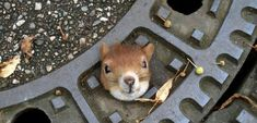 A squirrel whose head got wedged in a manhole cover in Germany was rescued by people who used olive oil to help push the rodent's head out of the hole. The newspaper Der Spiegel reports that squirrel later died from the apparent stress. Photo: Polizei Gro?burgwedel / Polizei Groflburgwedel