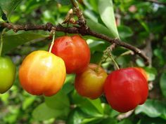 Barbados cherry aka: West Indian cherry hanging from the cherry tree